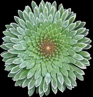 Saxifraga longifolia ssp. ....