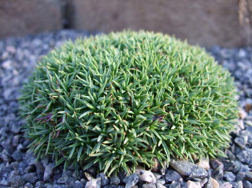 Swedish rock garden dianthus for Cactus exterieur resistant au froid