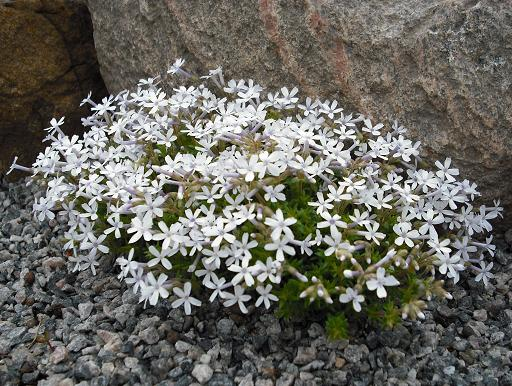 Garden Phlox and Rock